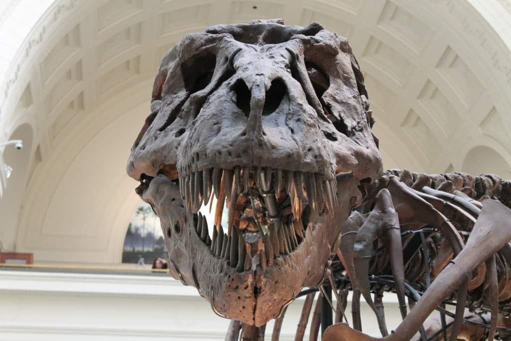 Zähne eines Tyrannus Rex